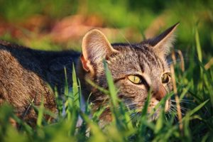 erba-gatta-benefici