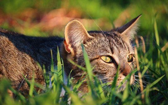 Erba gatta: un toccasana per i nostri amici pelosi