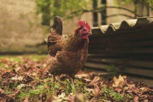 gallina allevamento a terra